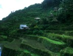 Rice terraces, traditional houses, and a carabao in the town of Batad